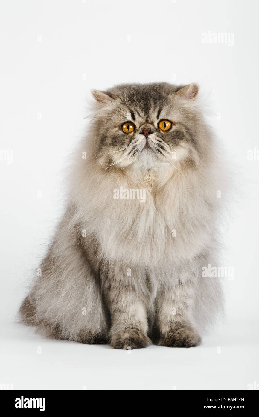 Domestic cat Blue spotted Persian Tabby Studio shot against white background - Stock Image
