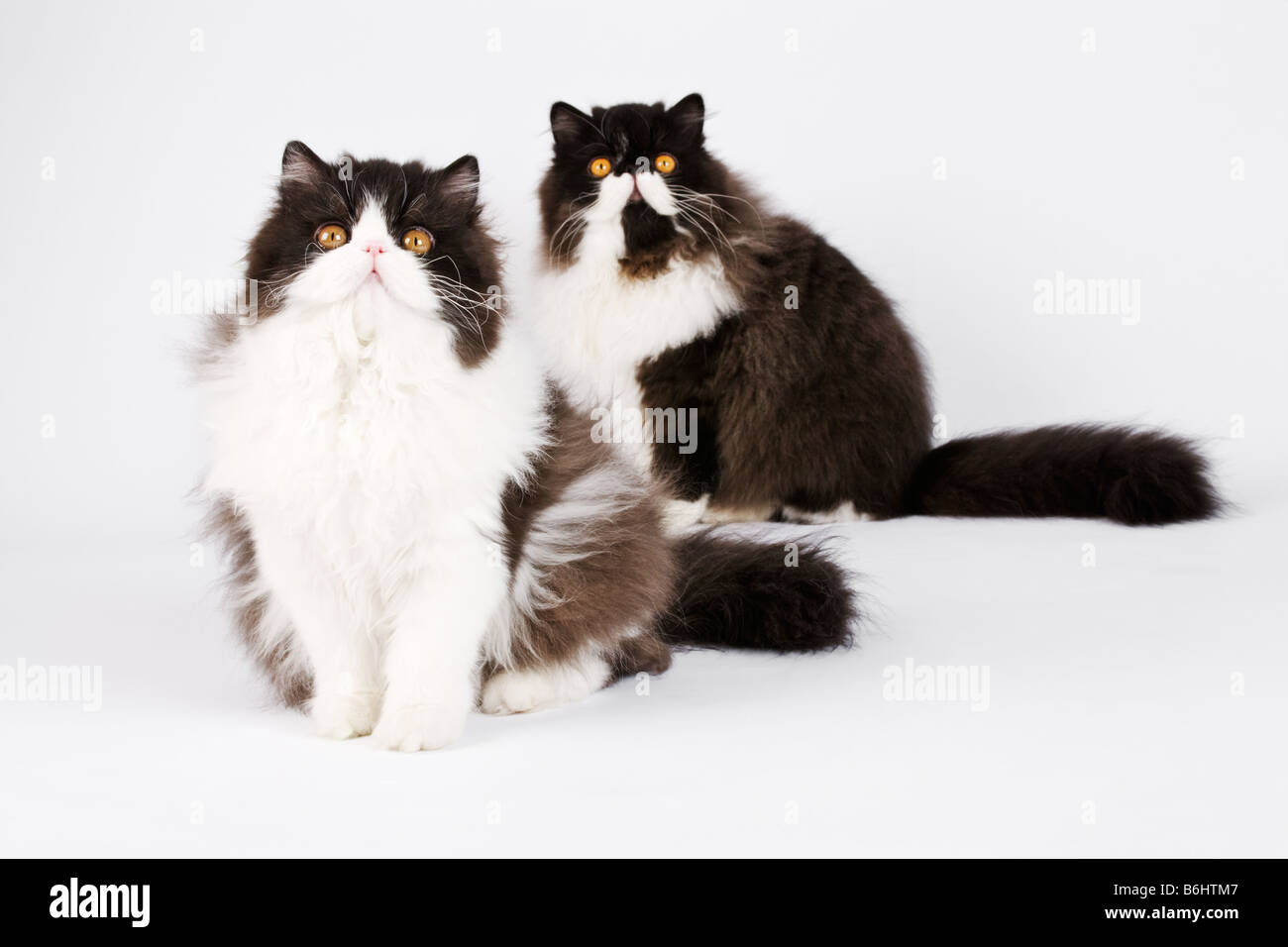 Domestic cats Black Bi Colour Persians Studio shot against white background - Stock Image