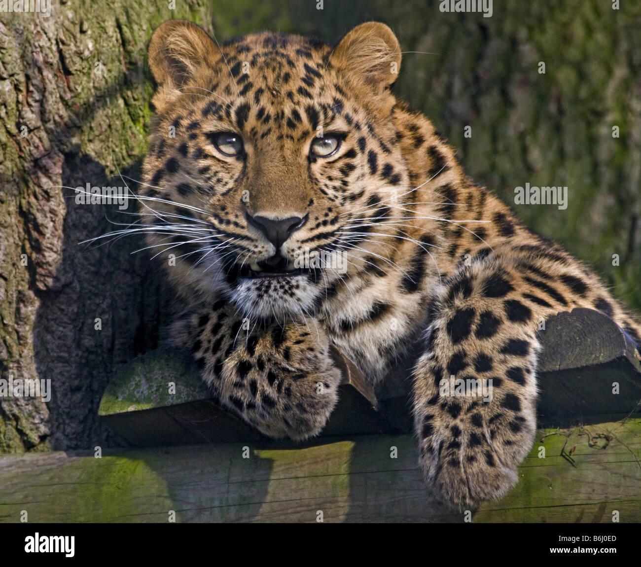Juvenile Amur Leopard (Panthera pardus orientalis) 'Kiska', bred at Marwell Zoo, Hampshire, England - Stock Image
