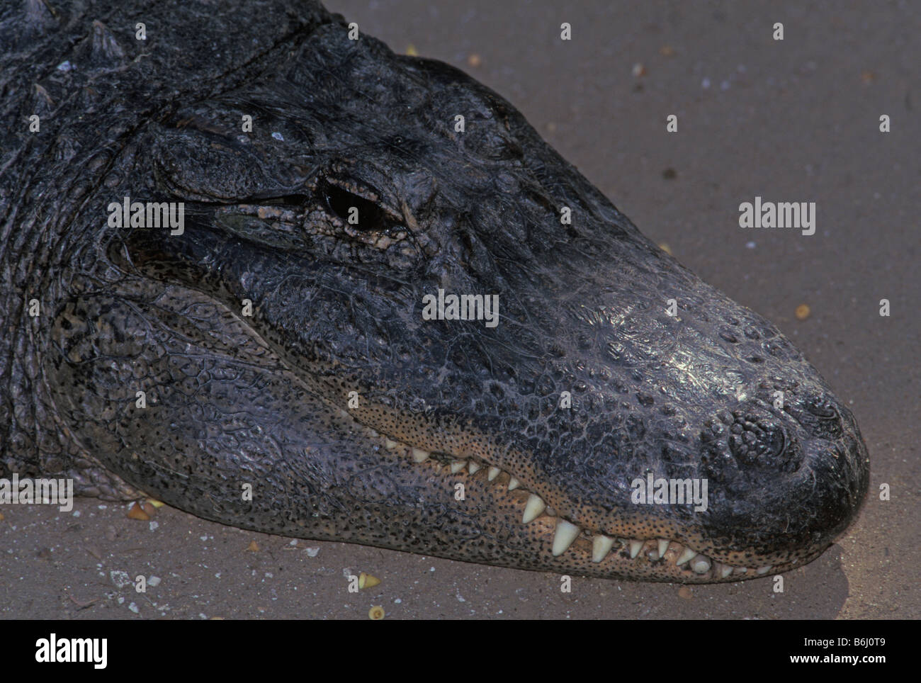 head view of alligator on land - Stock Image