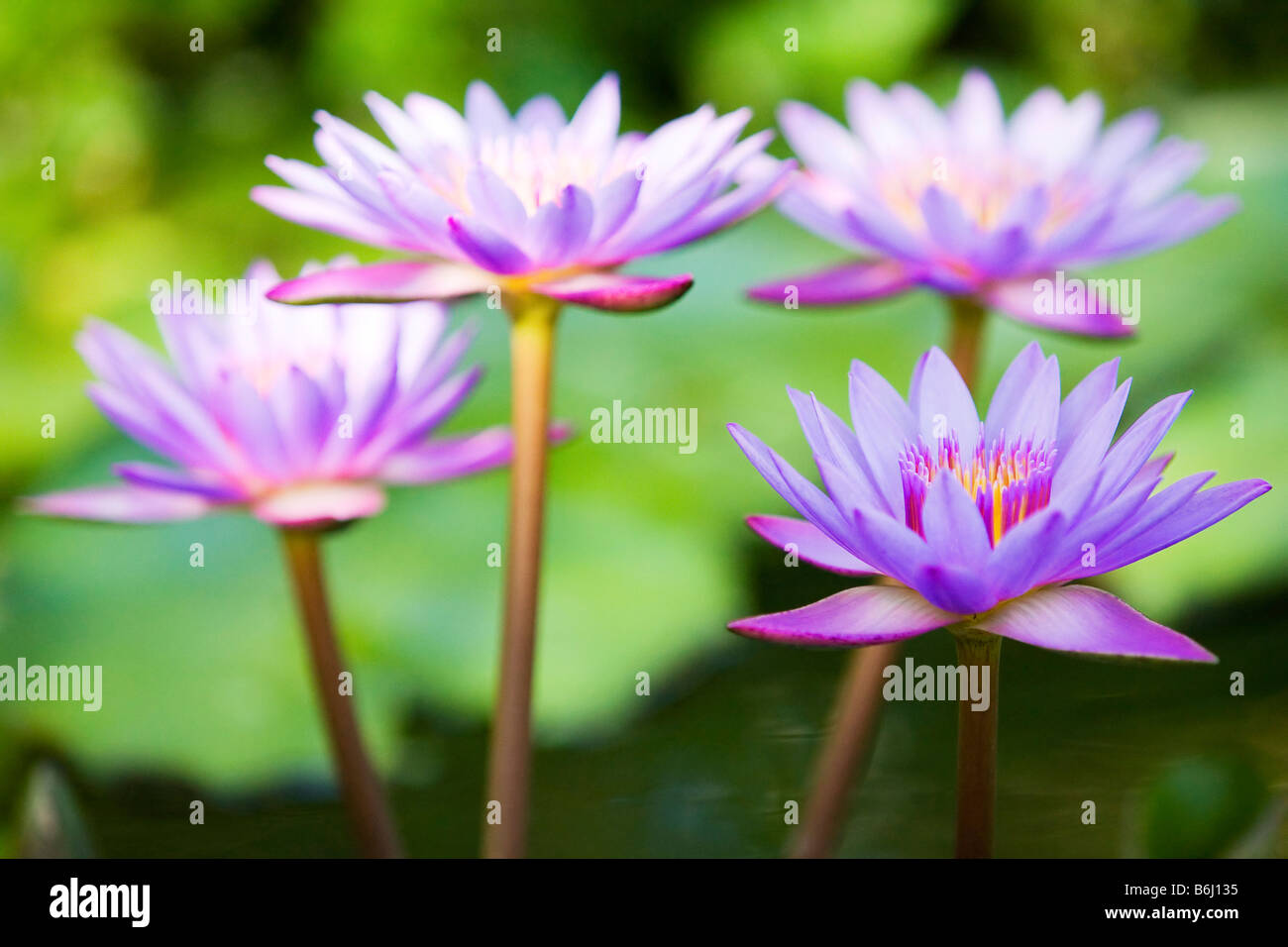 Pink Lotus The National Flower Of India Stock Photos Pink Lotus