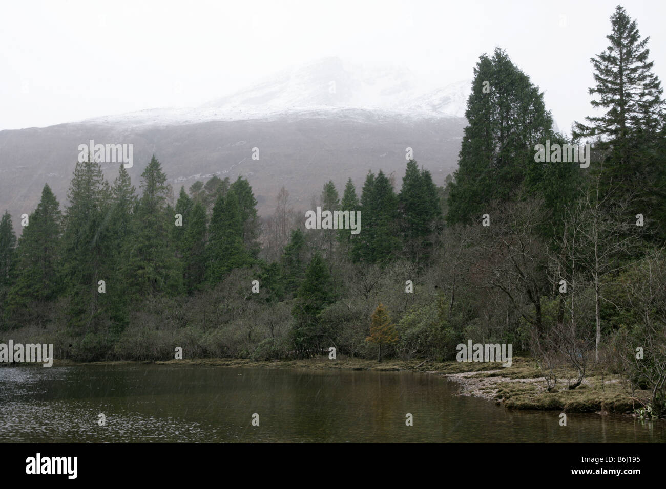 Pinewood trees at Loch Carron in Scotland. - Stock Image