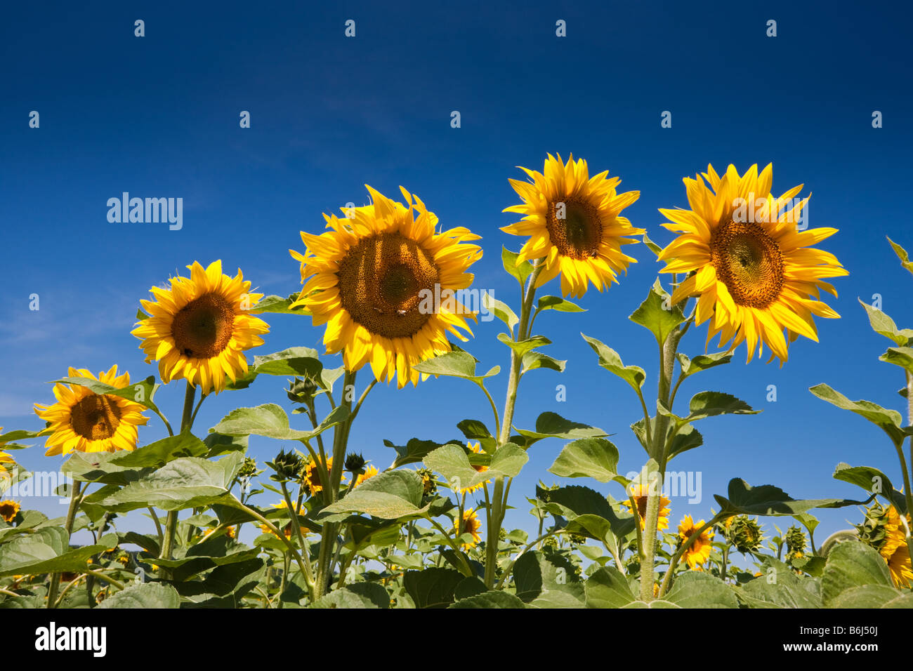 Sunflowers against a blue sky in southwest France Europe - Stock Image