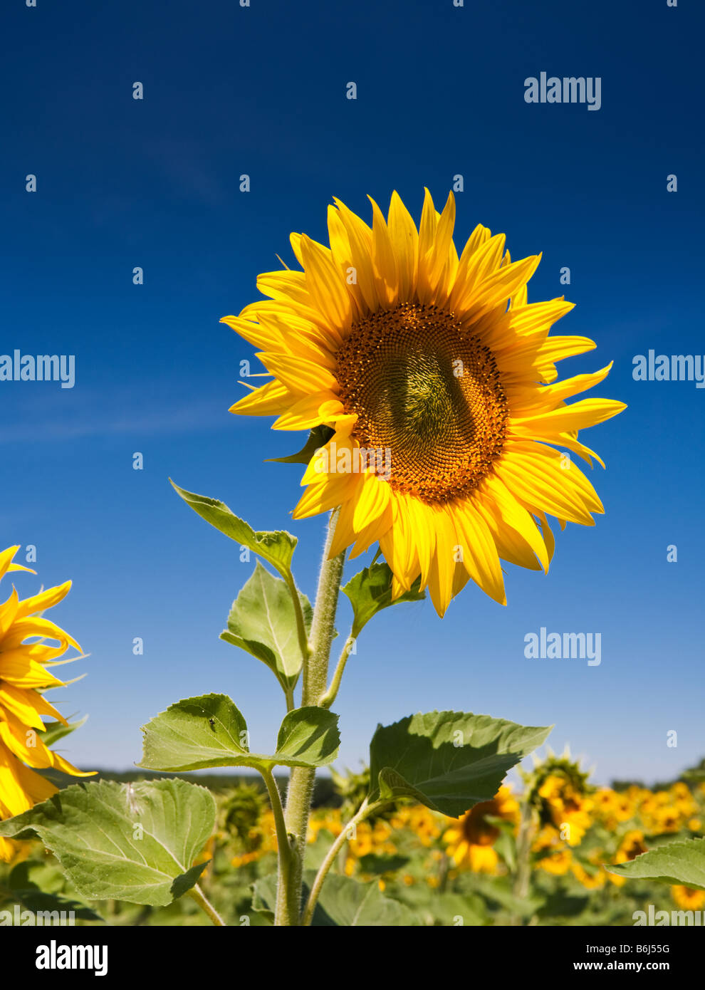 Ripe sunflower against a blue sky in southwest France Europe - Stock Image