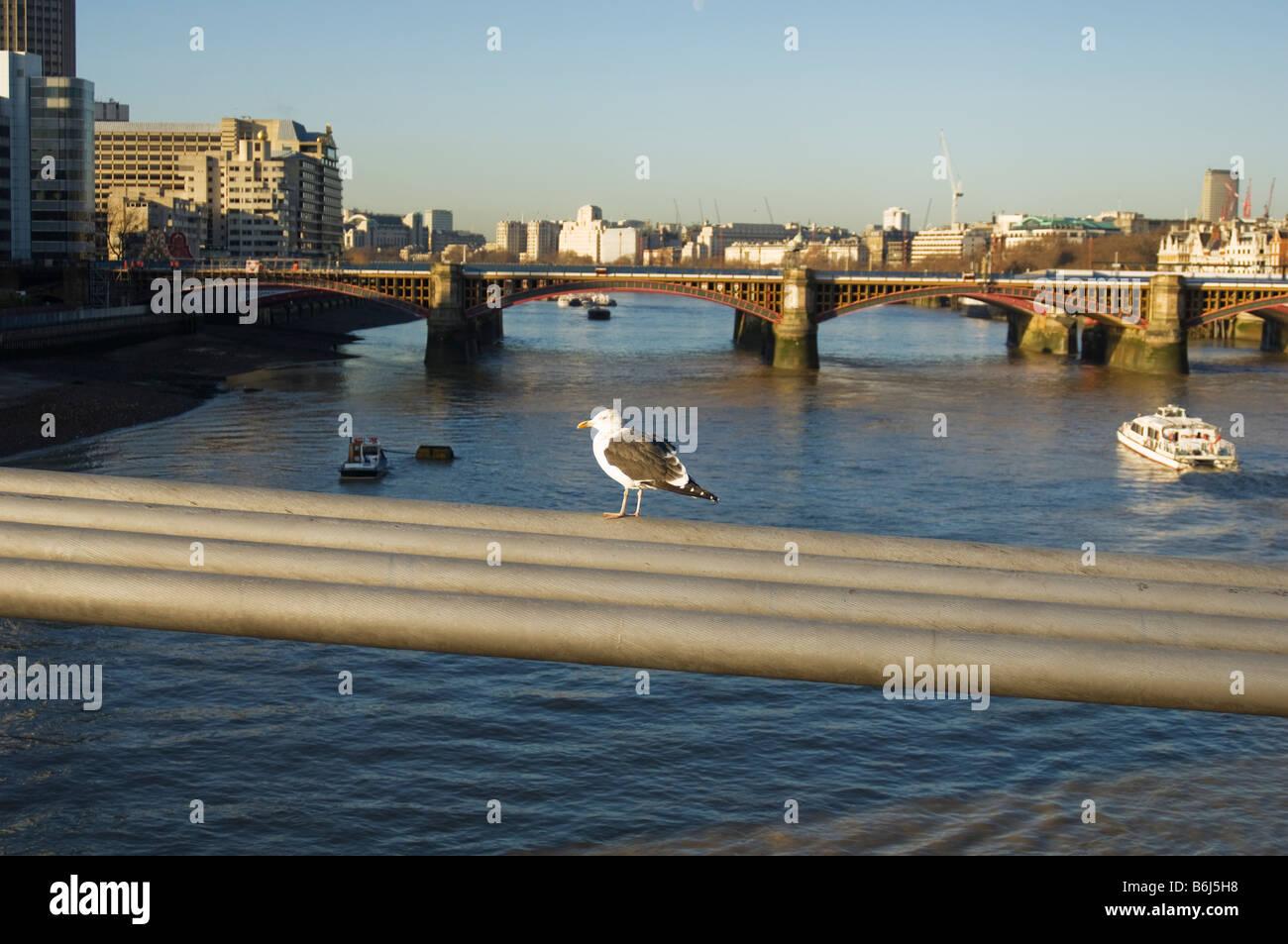 common gull standing on millennium bridge cables london - Stock Image