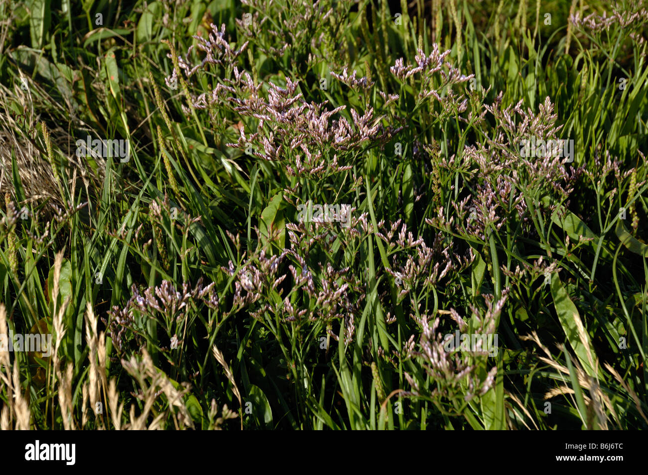 Common sea lavender Limonium vulgare saltmarsh Goldcliff Gwent Levels Newport Wales UK Europe Stock Photo