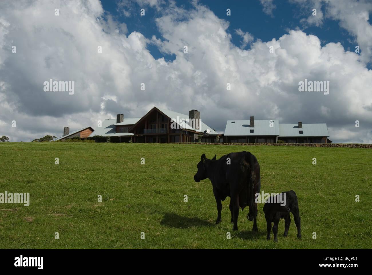 Black Angus cow and calf grazing , Queensland, Australia Stock Photo