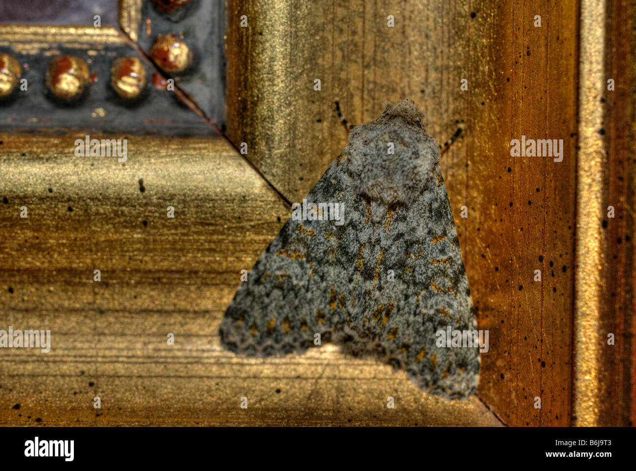 Macro photograph of a moth resting on a wooden picture frame of a painting in a hotel - Stock Image