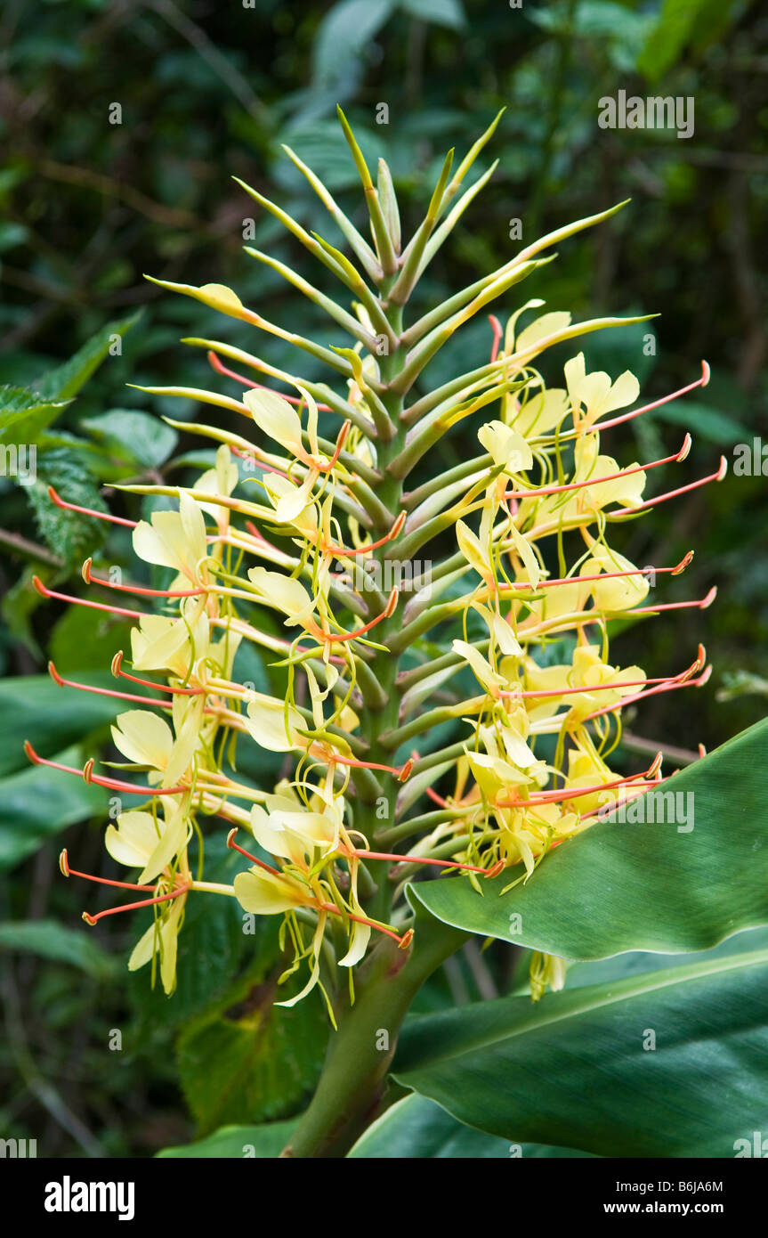 Ginger flowers hawaii stock photos ginger flowers hawaii stock yellow ginger flowers kokee kauai hawaii stock image izmirmasajfo