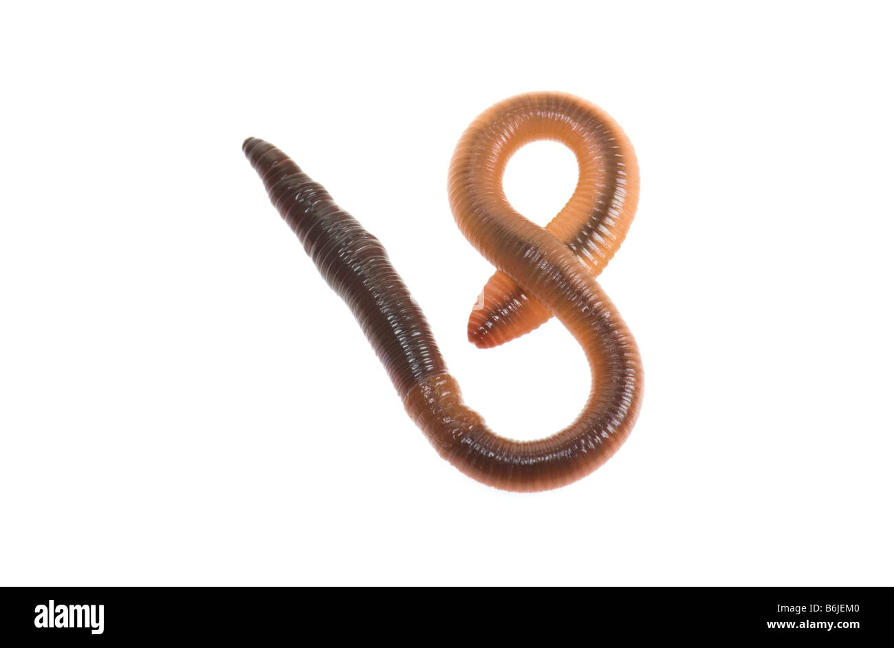 1 one big earthworm WORM wurm regenwurm on white background cutout cut out earth ground many garden bait disgusting - Stock Image