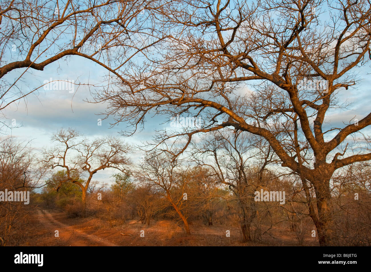 red earth ground SAVANNAH savanne south-africa bush woodland landscape south africa acacia off road moguls acacia - Stock Image