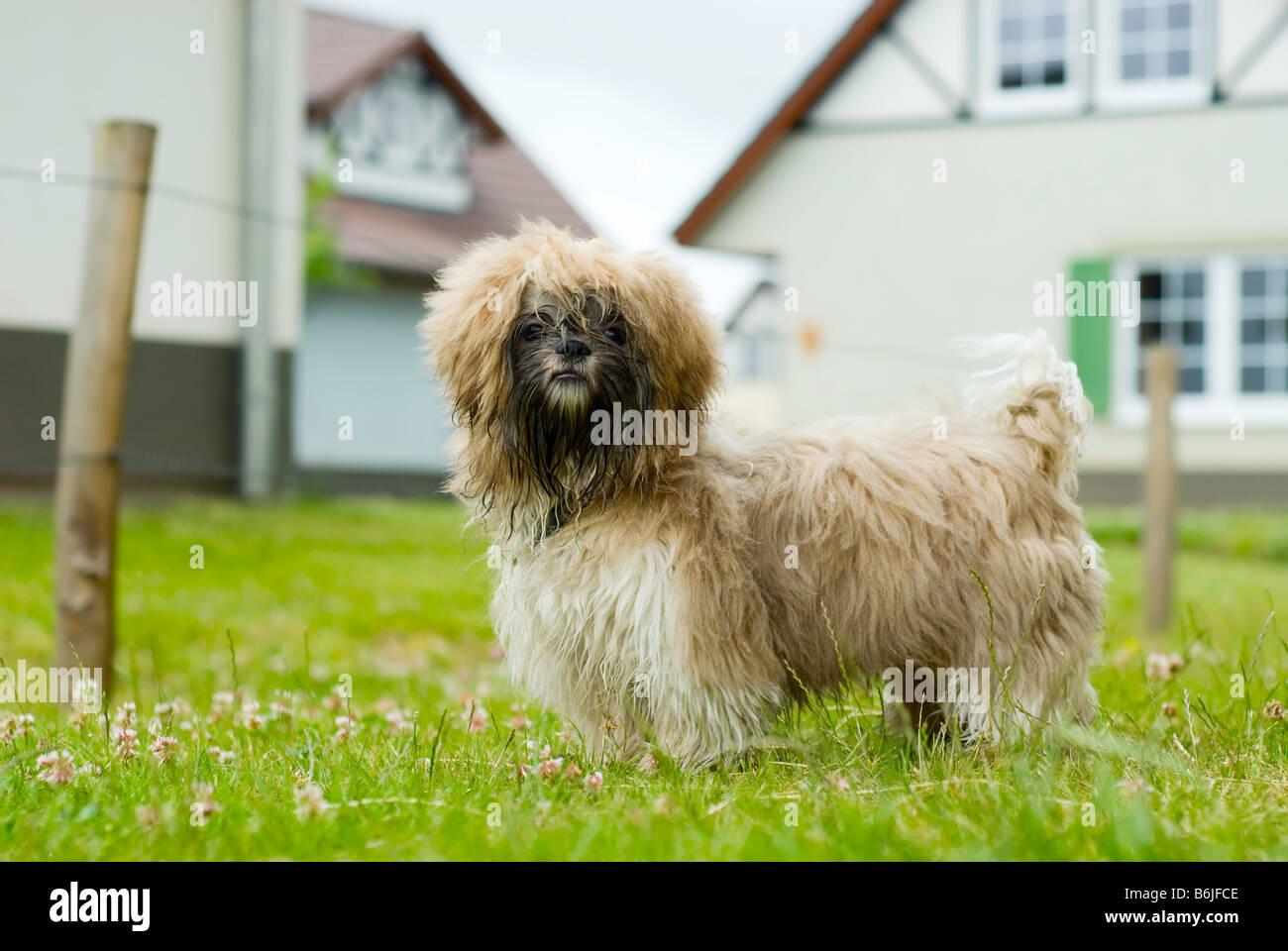 cute shih tzu dog looking at the camera - Stock Image