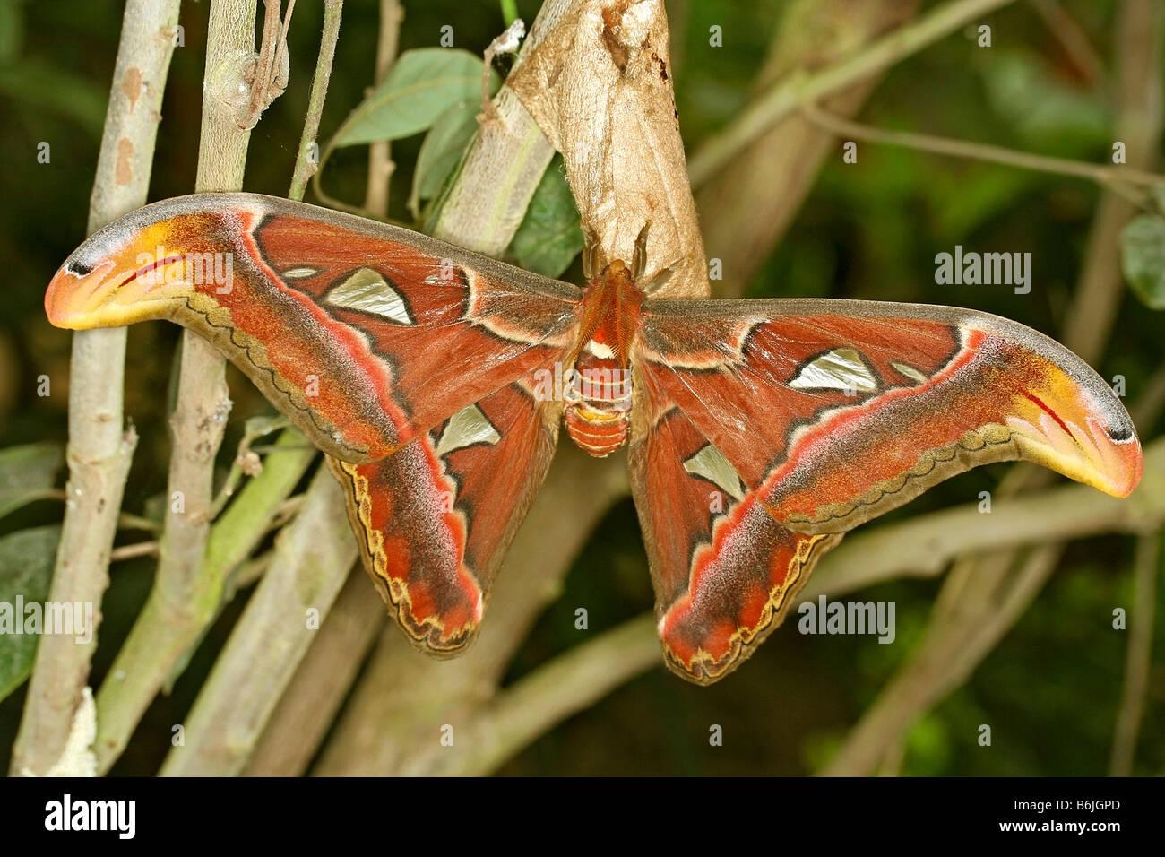 Atlas moth Attacus atlas - Stock Image