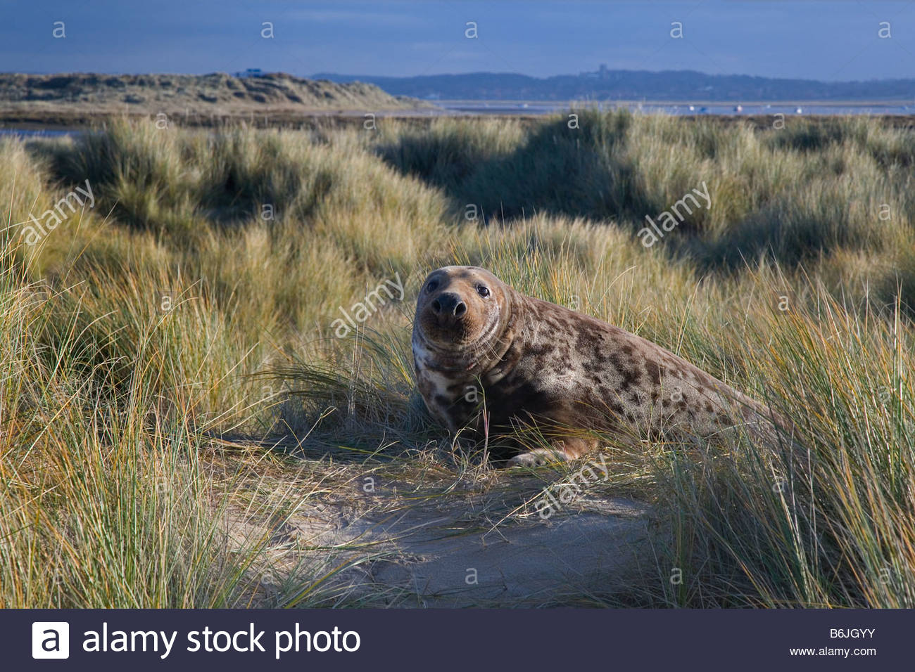 Grey Seal Halichoerus grypus male  in sand dunes December - Stock Image