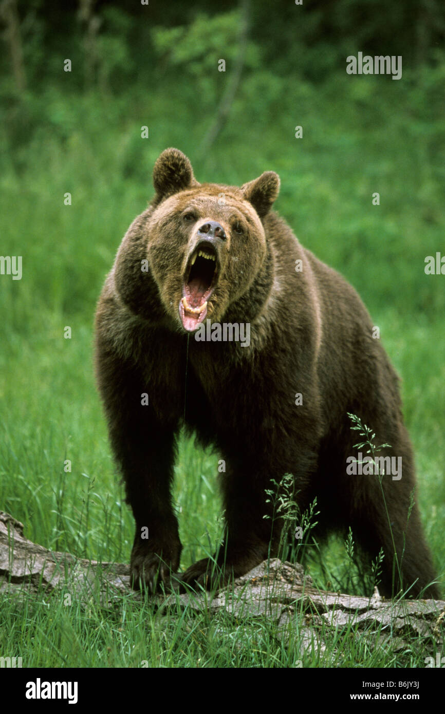 Grizzly Bear (Ursus arctos horribilis), adult snarling - Stock Image