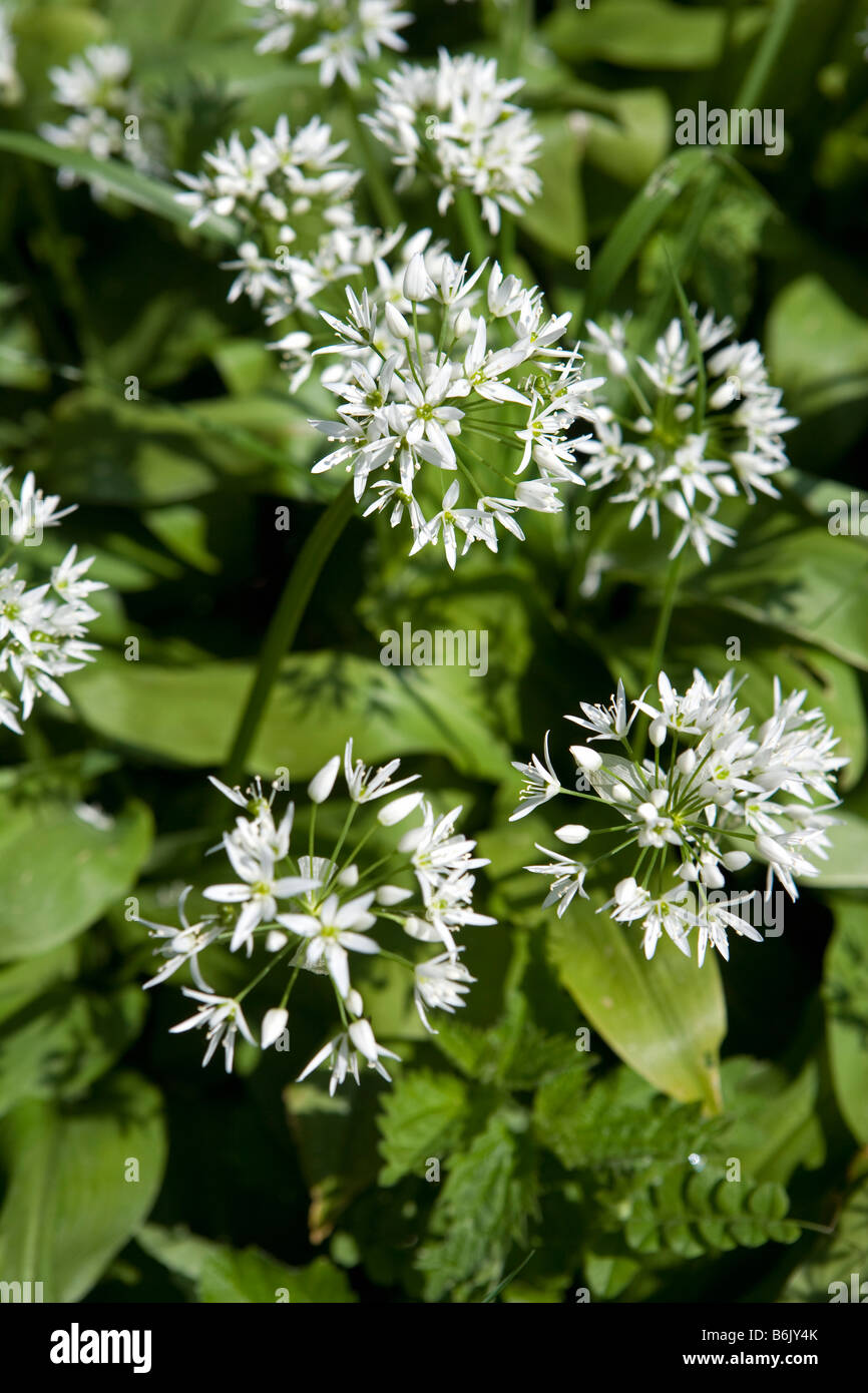 England, Dorset, Beaminster. Wild Garlic (Allium vineale) grows alongside Beaminster's Millennium Walk. - Stock Image
