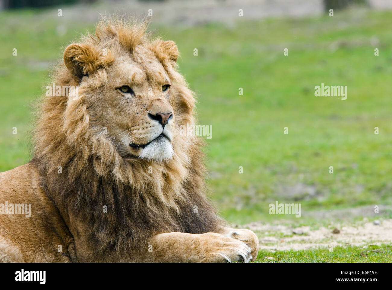 portrait of a big african male lion Stock Photo