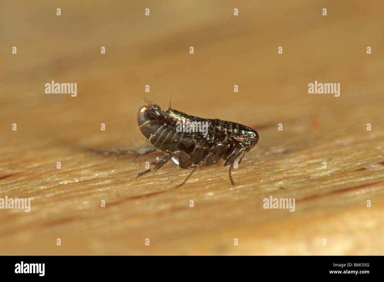 Bird Flea (Ceratophyllus sp.) - Stock Image