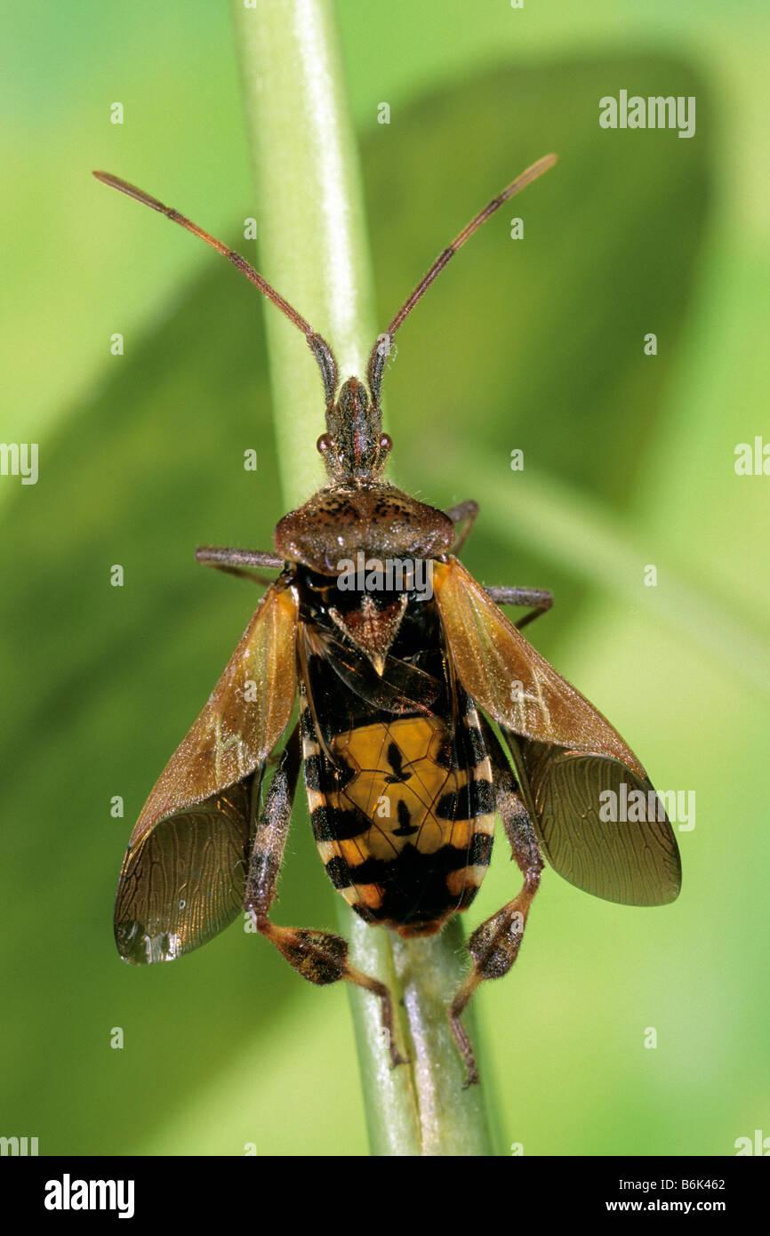 Western Conifer Seed Bug (Leptoglossus occidentalis) on stem - Stock Image
