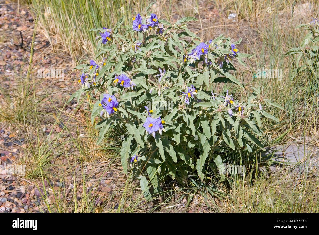 Silverleaf Nightshade Solanum eleagnifolium Heber Arizona United States 26 June Plant Solanaceae - Stock Image