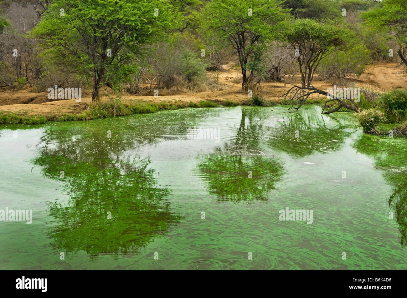 water hole bushland bush IMPALAs wildlife wild green water edge waterhole south-Afrika south africa landscape acacia - Stock Image