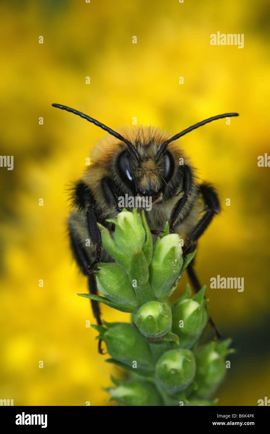 Bombus pascuorum - Common Carder-bee - Stock Image