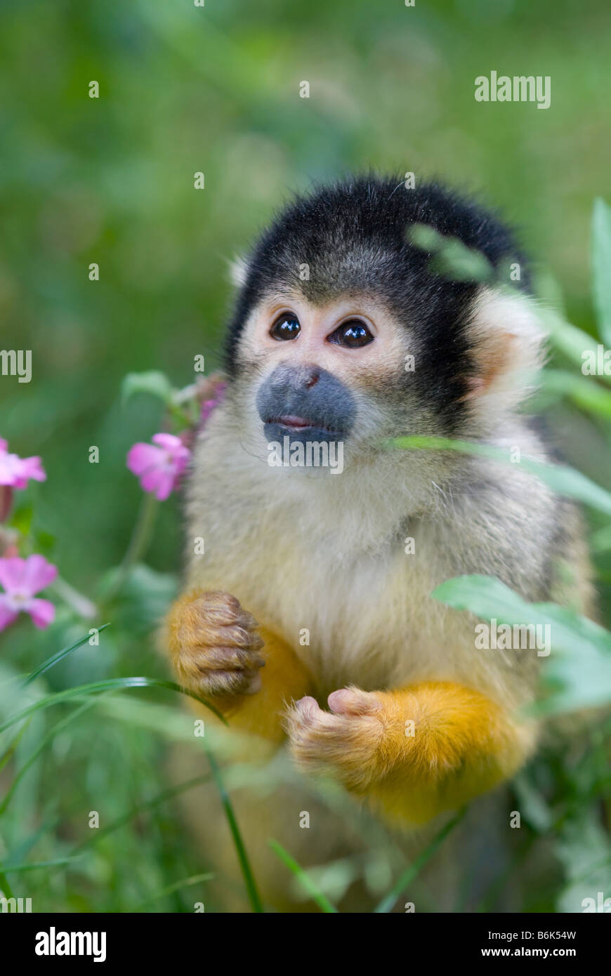cute squirrel monkey Saimiri subfamily saimiriinae Stock Photo