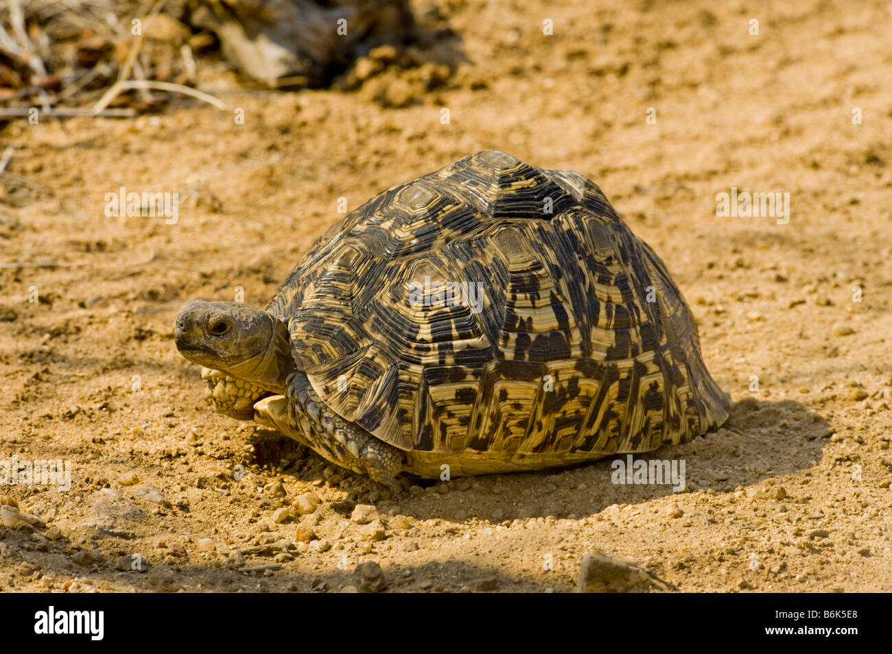 wild wildlife Leopard tortoise GEOCHELONE PARDALIS reptile turtle land tortuga species endemic animal old big heavy - Stock Image