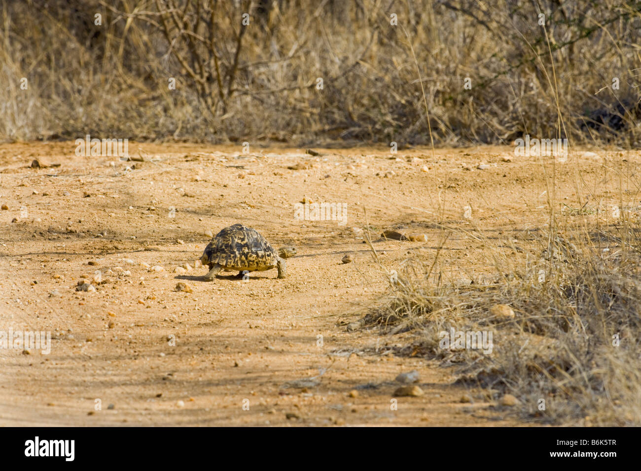 wild wildlife Leopard tortoise GEOCHELONE PARDALIS reptile turtle land tortuga species endemic animal old big heavy - Stock Image
