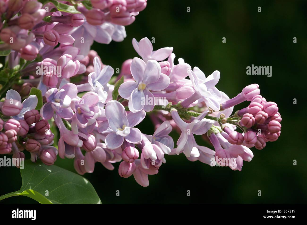 Lilac Blossoms: Syringa Vulgaris - Stock Image