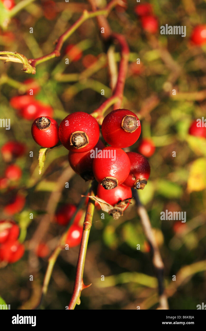 Hawthorn a type of small wild tree with thorns white or pink hawthorn a type of small wild tree with thorns white or pink flowers in spring and small red fruits in the autumn mightylinksfo