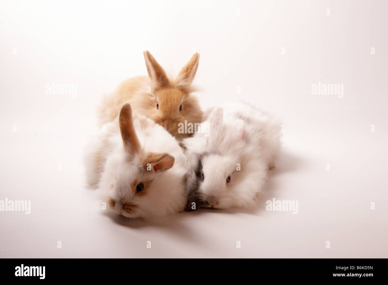 three lionhead rabbits in a group wit white back Stock Photo