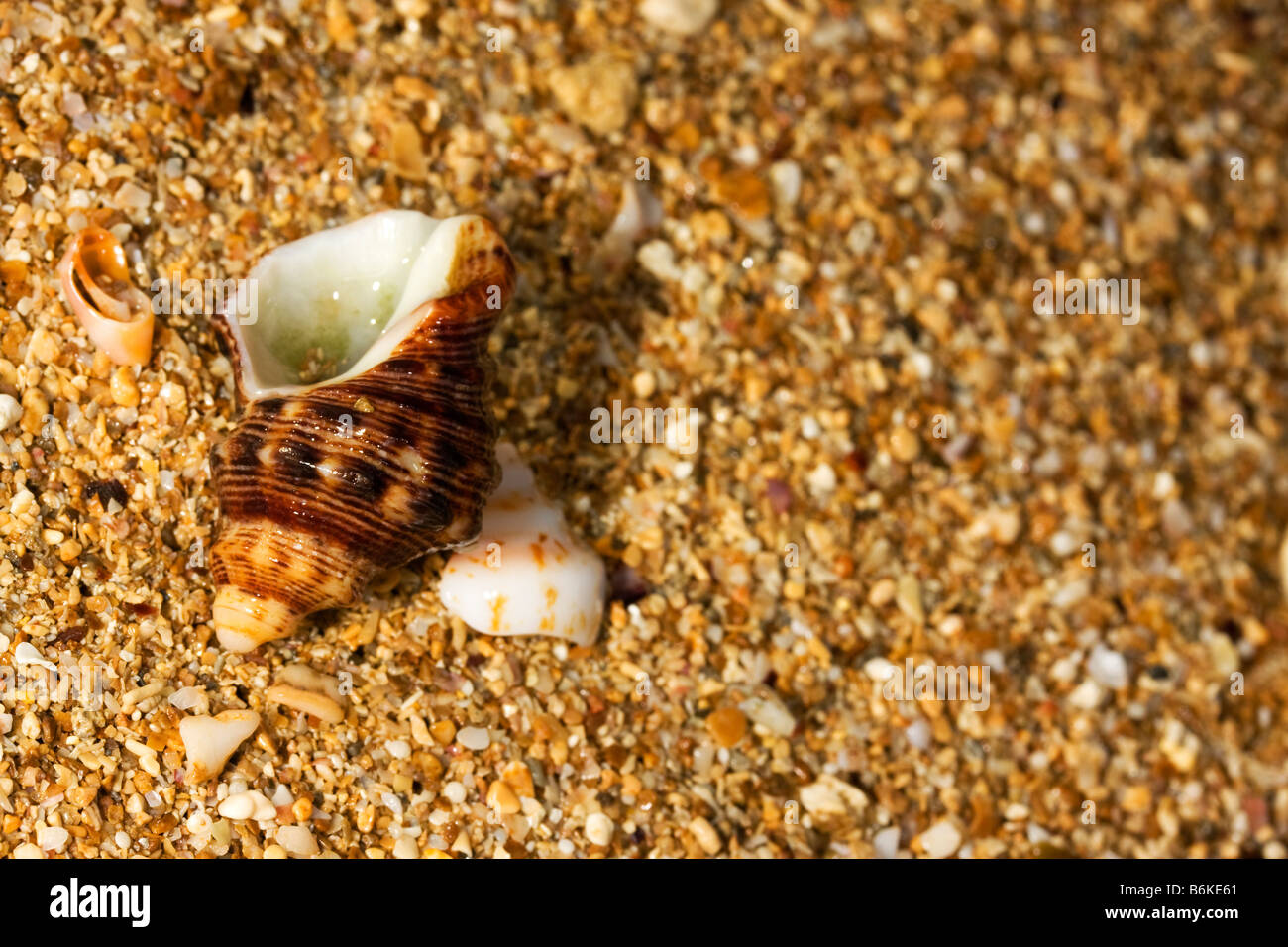 elaborate exoskeleton shell on fragments of shells on the shore - Stock Image