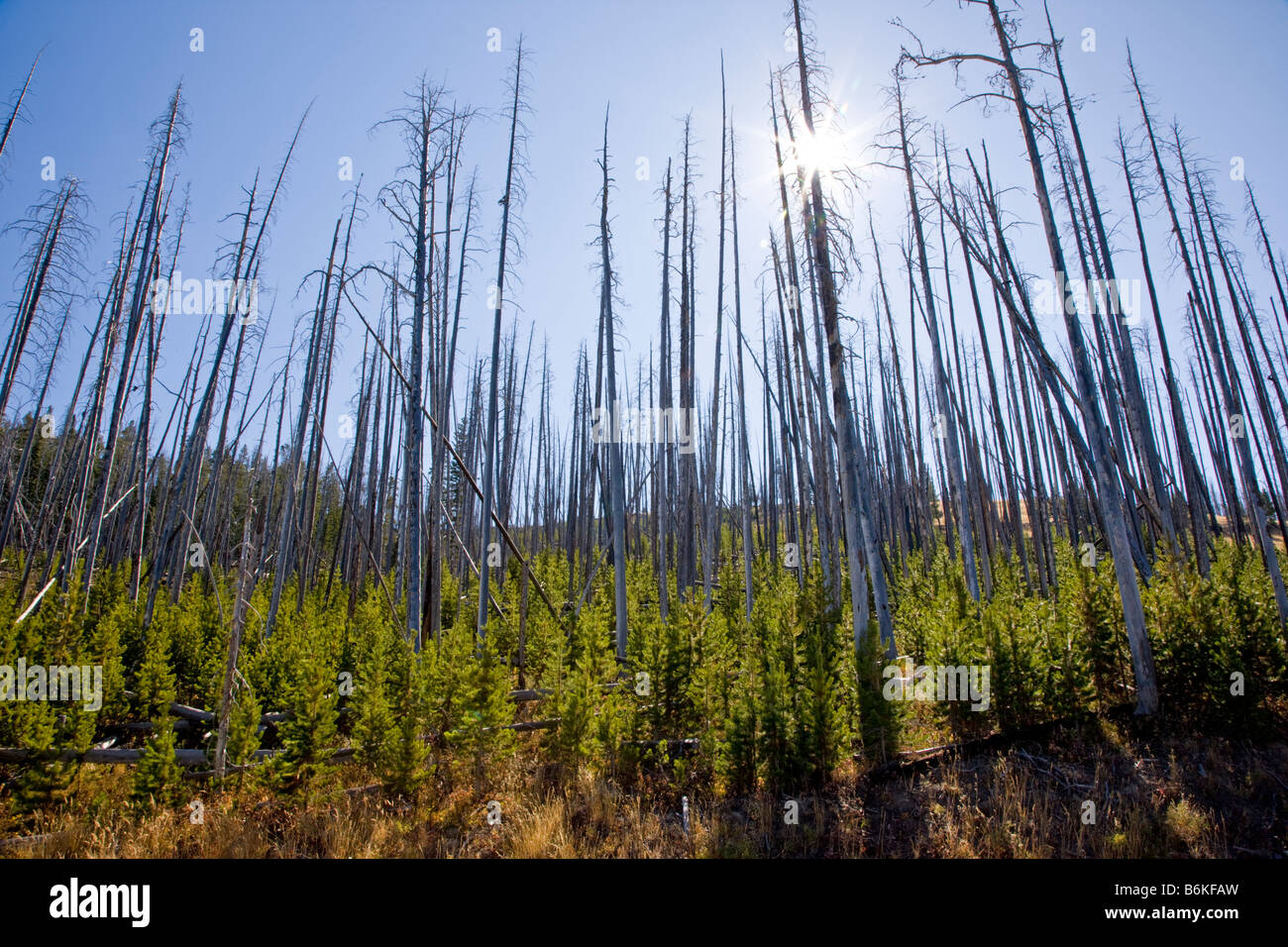 Regeneration of trees that burned in forest fires near Dunraven Pass Yellowstone National Park Wyoming USA - Stock Image