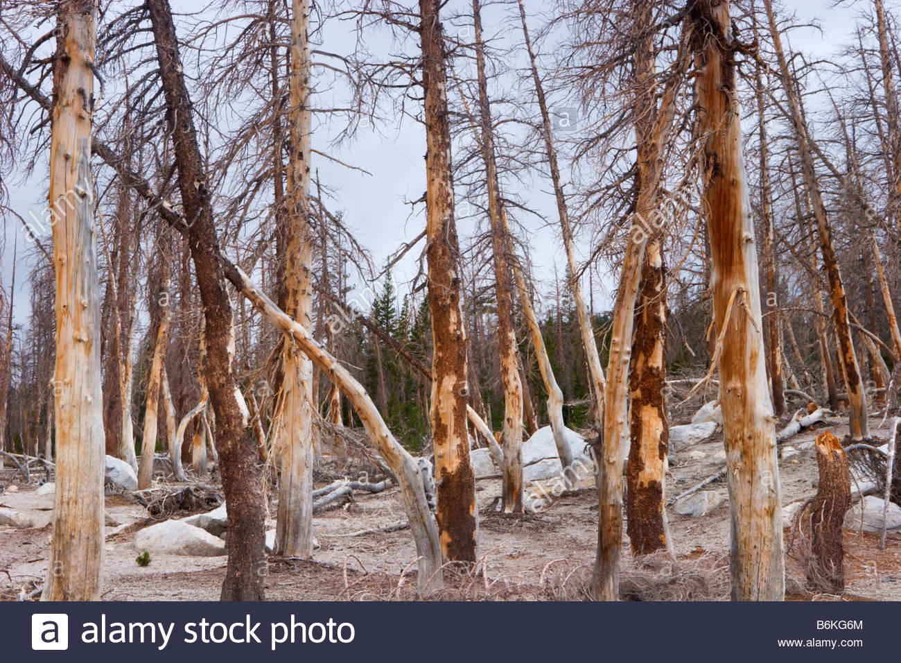 Dead Pine Trees Killed by Carbon Dioxide Emissions near Horseshoe Lake Ansel Adams Wilderness California - Stock Image