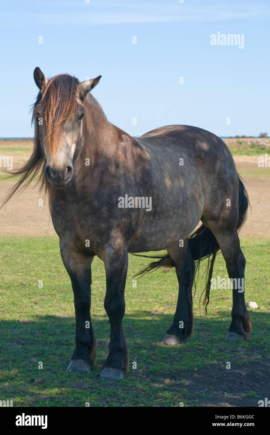 North Swedish workhorse. - Stock Image