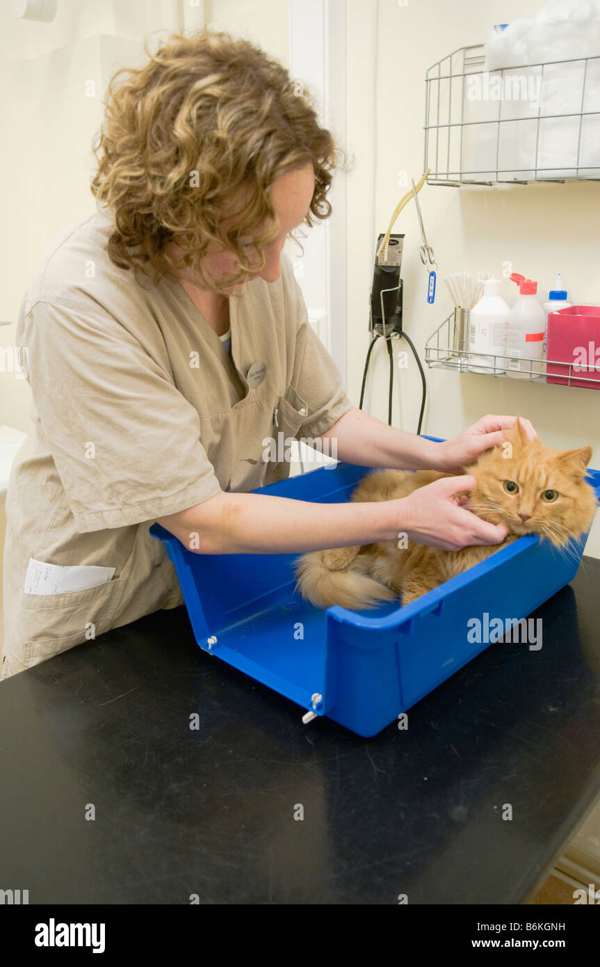 A veterinary checking a big red cat. - Stock Image