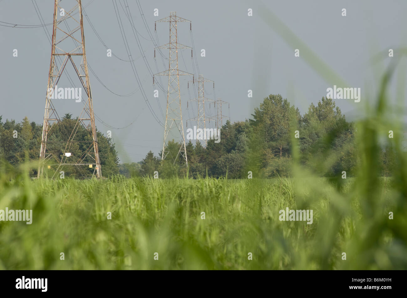 Electricity pylons towering field of miscanthus grass, grown for biofuel production - Stock Image