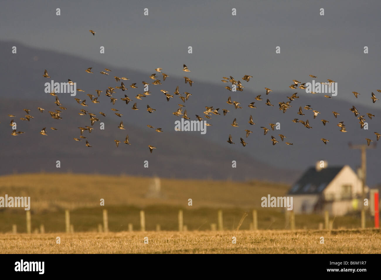 Large flock of Snow Buntings against stormy sky flying over stubble on the machair, South Uist, Outer Hebrides, - Stock Image