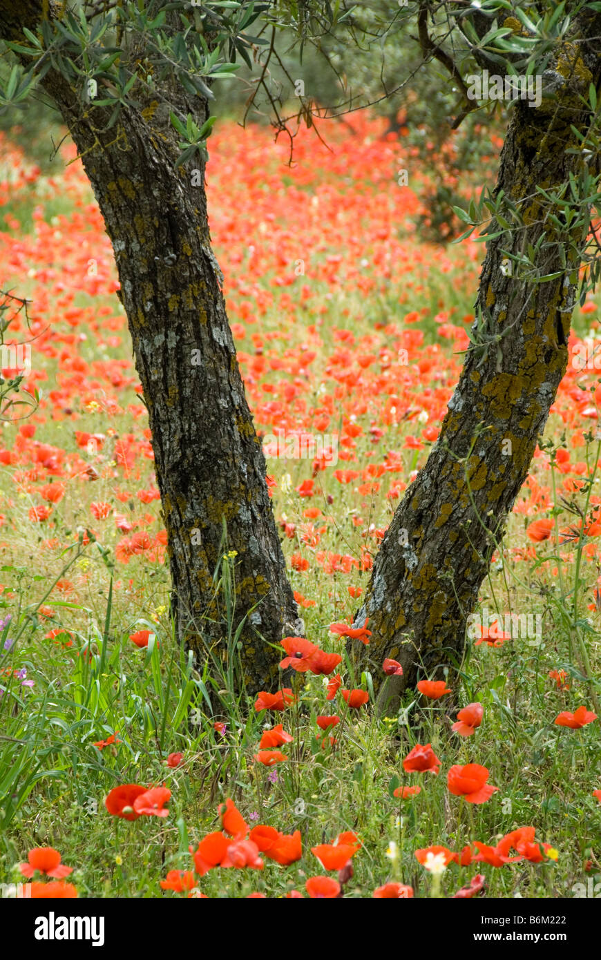 Poppies Olive trees Olive grove wild flowers bark spring springtime Travel red green nature earth tones poppy - Stock Image