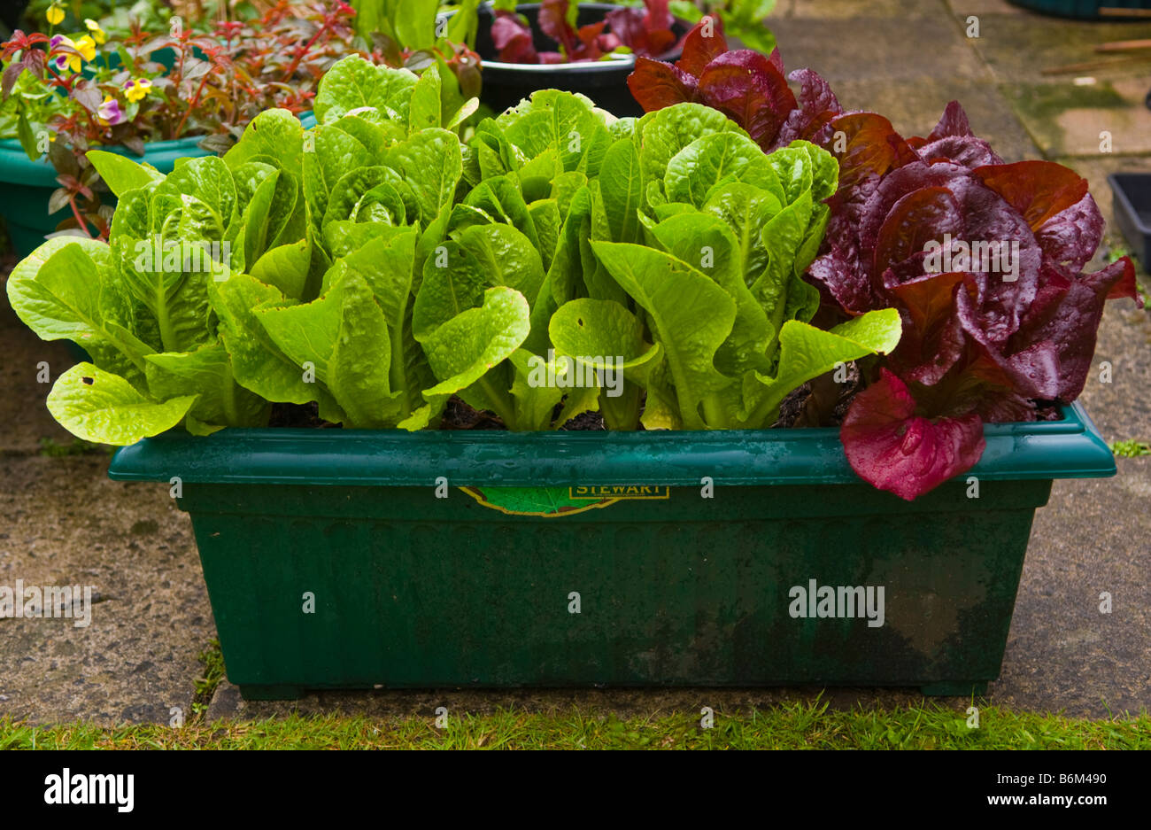 Lettuce Being Grown In Containers Small Urban Garden UK
