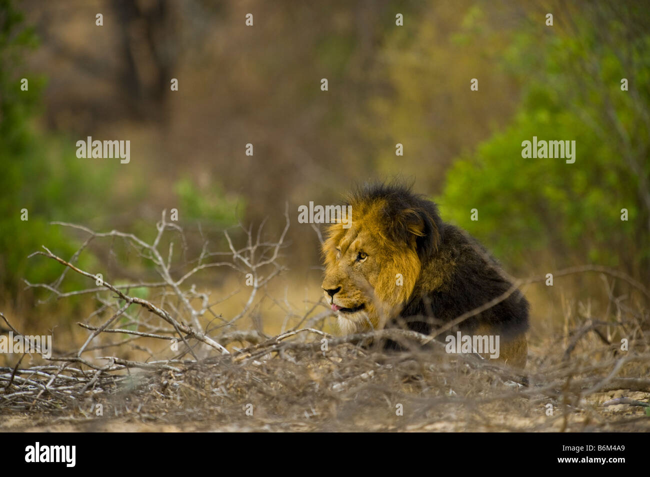 wildlife wild lion male in perfect condition lying down open mouth teeth gape gaping yawn yawning tongue panthera - Stock Image