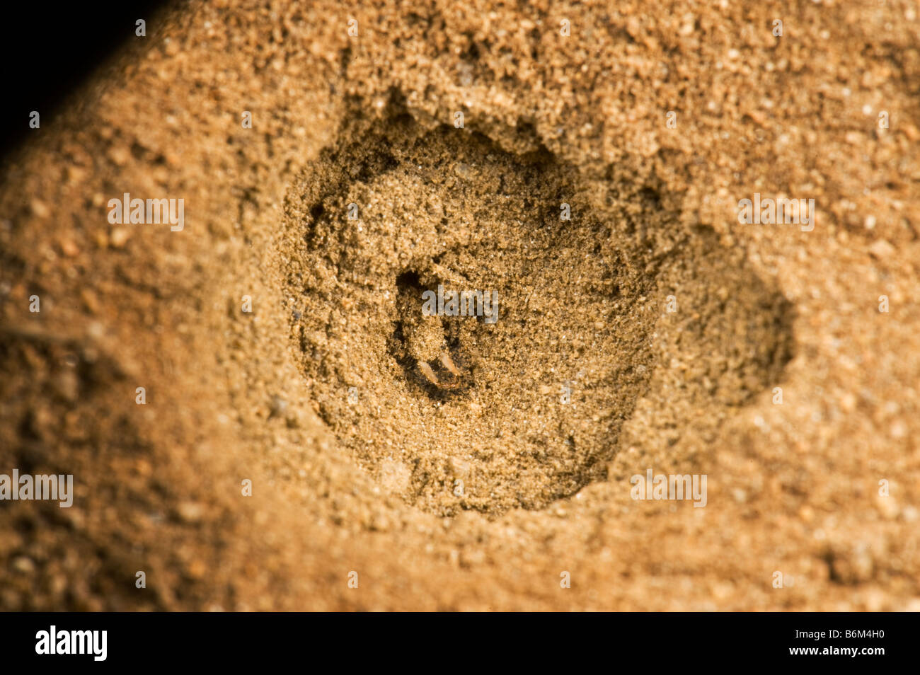 wild wildlife ant lion makro macro sandhole ambience south-africa conical pit soft sandy soil to trap insects white - Stock Image