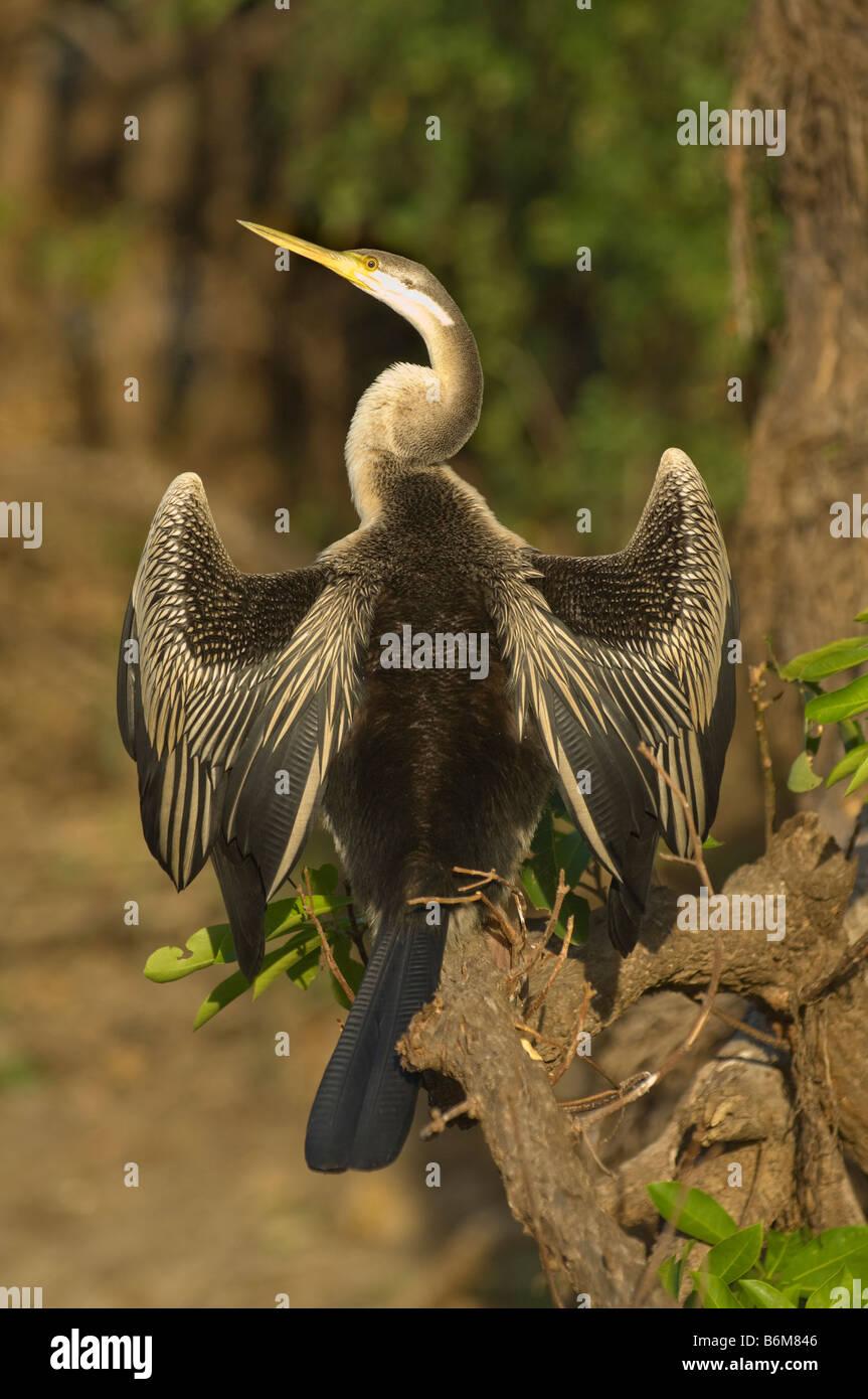The Oriental Darter or Indian Darter Anhinga melanogaster sunning South Alligator River Kakadu National Park Northern - Stock Image