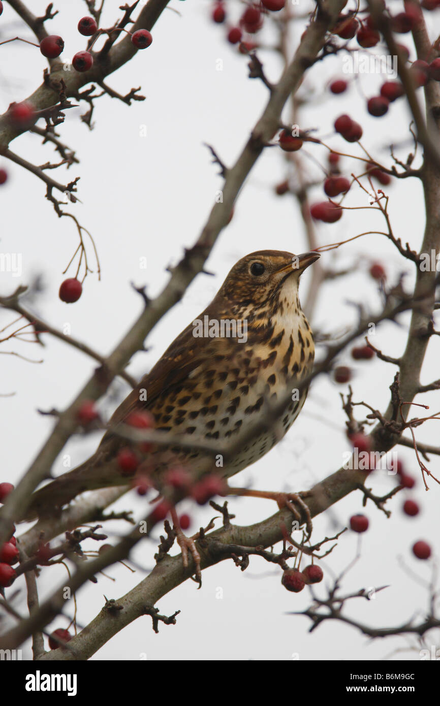 SONG THRUSH Turdus philomenos IN HAWTHORN TREE - Stock Image