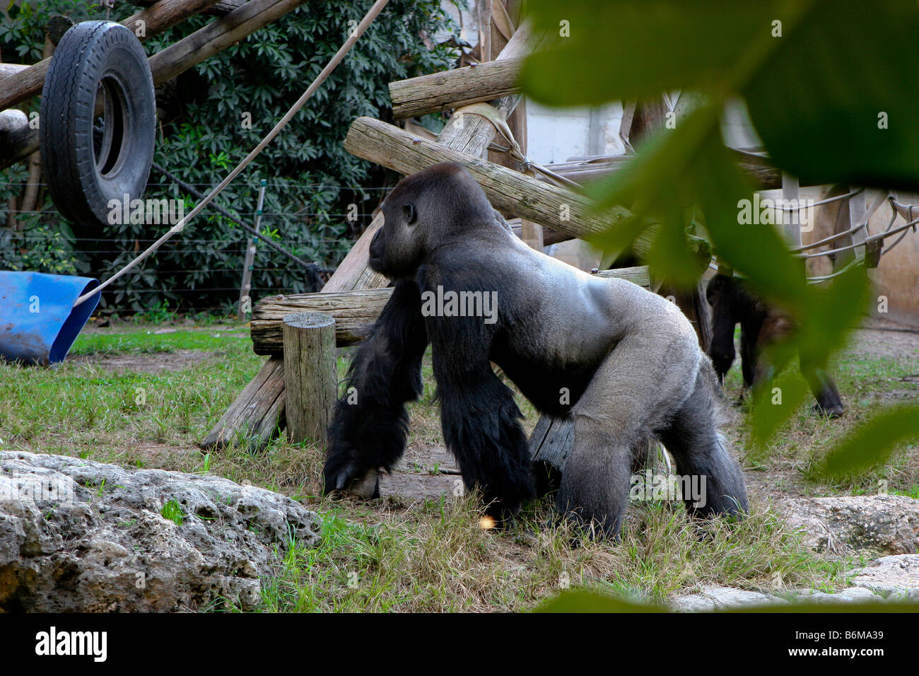 dominant silver backed male Gorillas - Stock Image