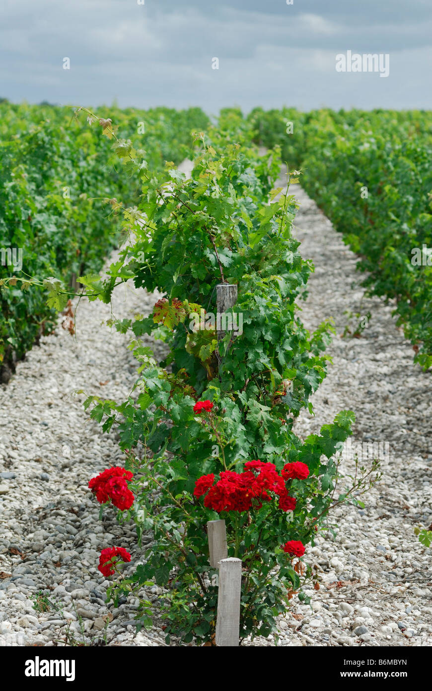 Margaux France Roses growing at the end of a row of vines originally used as an early sign of mildew - Stock Image