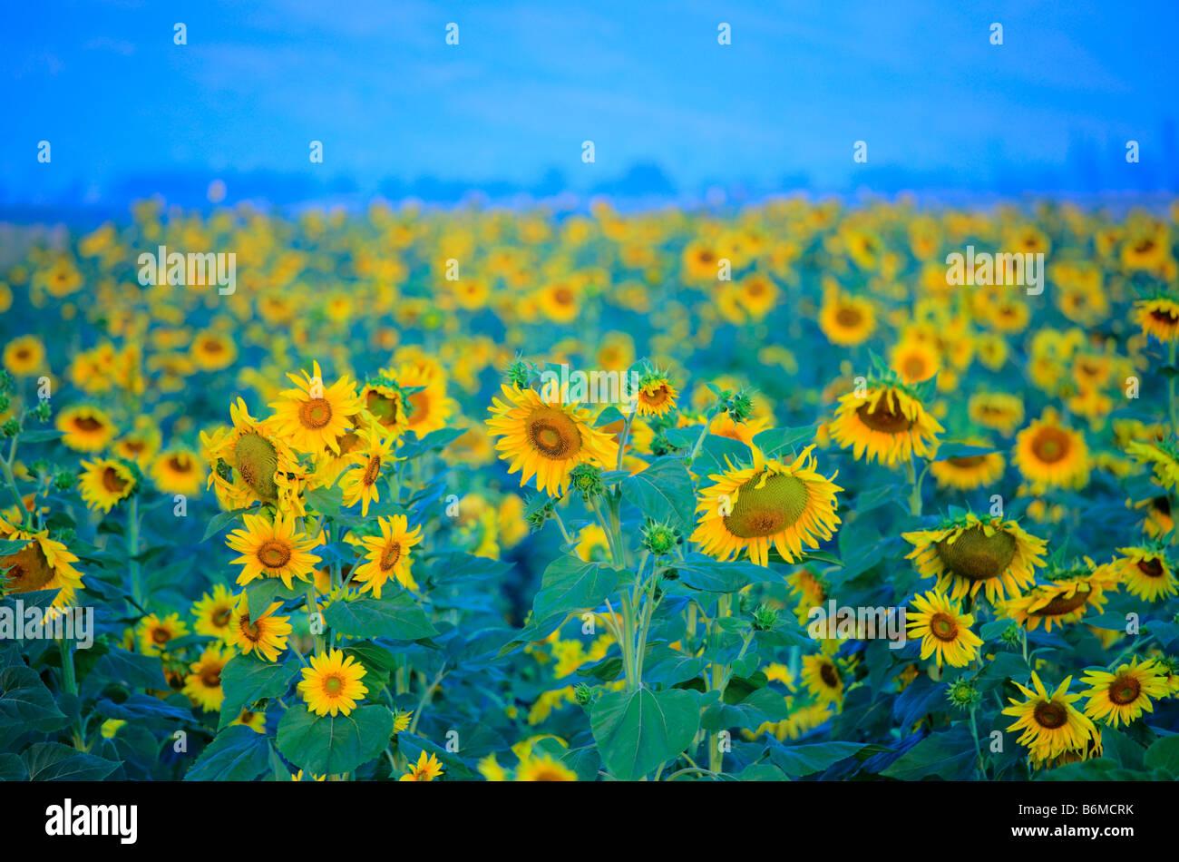Sunflower field in Macedonia - Stock Image