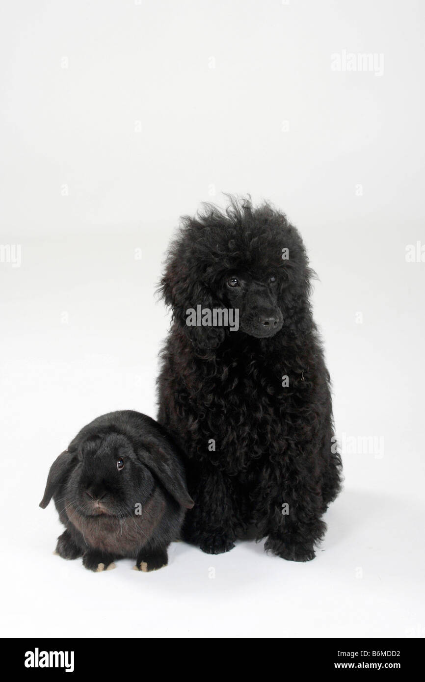 Miniature Poodle puppy 5 month black and Netherlands Lop eared Dwarf Rabbit black Domestic Rabbit - Stock Image
