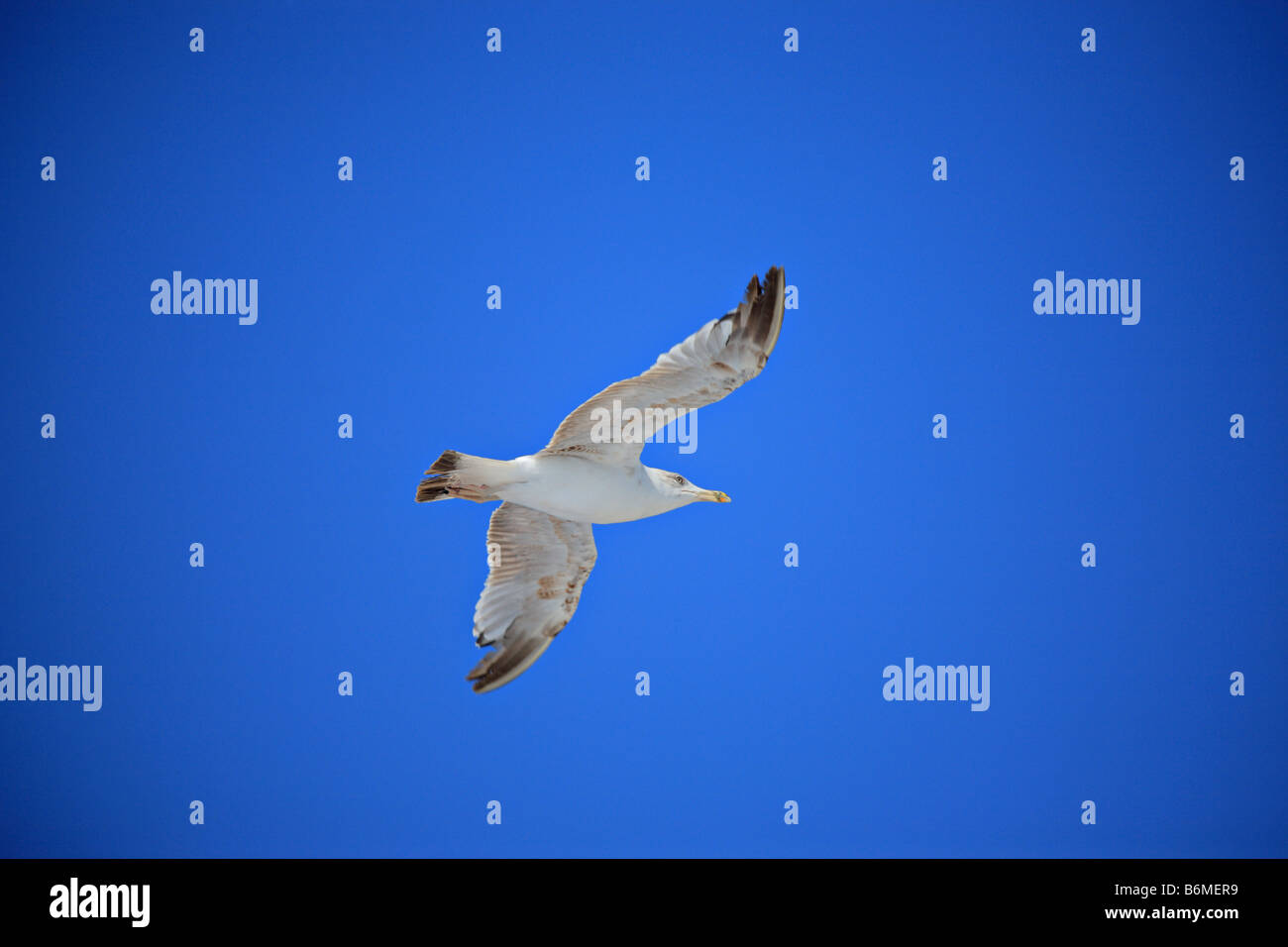 Sea gull in flight - Stock Image